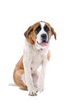 St. Bernard dog raising paw Stock Image