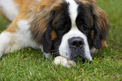 St. Bernard dog Royalty Free Stock Images