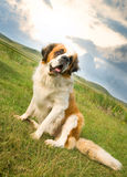 St. Bernard dog sitting Stock Photo