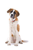 St. Bernard dog sitting. A studio view of a large brown and white St. Bernard dog sitting.  White background Royalty Free Stock Images