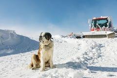 St Bernard Dog som är klar för räddningsaktionen i vinter royaltyfri bild