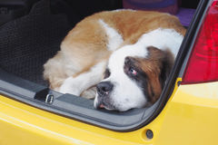 St. Bernard dog squatting in the car Stock Image