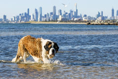 St Bernard Dog Swimming na praia Melbourne Austrália Fotos de Stock Royalty Free