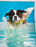 St Bernard dog taking a swim. Huge St Bernard dog taking a swim in indoor swimming pool for dogs Stock Photos