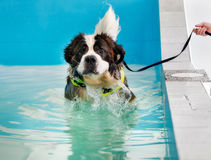 St Bernard dog taking a swim Royalty Free Stock Image