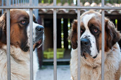 St. Bernard Dog. Waiting in his cage Royalty Free Stock Images