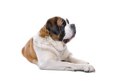 St. Bernard dog on white. A studio view of a large, brown and white St. Bernard dog happily resting.  White background Stock Photo
