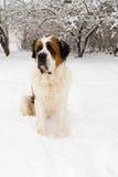 St Bernard en una yarda nevada Imagen de archivo libre de regalías