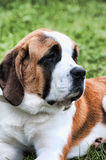 St bernard face Royalty Free Stock Images