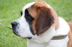 St bernard face Royalty Free Stock Image