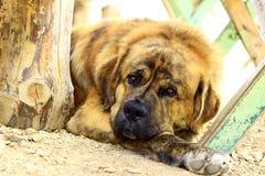 St Bernard hund Fotografering för Bildbyråer