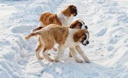 St Bernard hund arkivbild