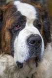 St Bernard hund Arkivfoton