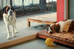 St Bernard hundkapplöpning som avskiljs av fönsterexponeringsglaset fotografering för bildbyråer
