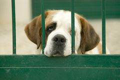 St. Bernard looks through green gate in Portugal Royalty Free Stock Photos