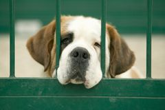 St. Bernard looks through green gate in Portugal Stock Photo
