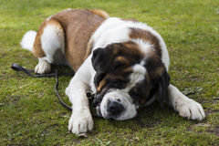 A St. Bernard lying on the grass Stock Image