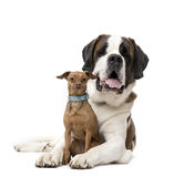 St. Bernard and Miniature Pinscher staring Royalty Free Stock Image