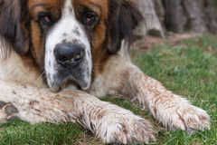 St. Bernard Royalty Free Stock Image