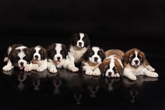 St Bernard Puppies Stock Afbeeldingen
