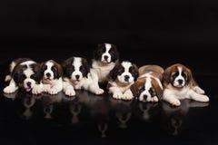St Bernard Puppies Images stock