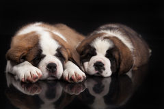 St Bernard Puppies Royalty-vrije Stock Foto