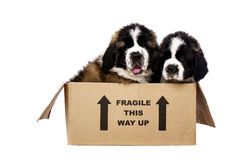 St Bernard puppies in a cardboard box Stock Photo