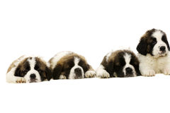 St Bernard puppies isolated on white Royalty Free Stock Image