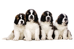 St Bernard puppies isolated on white Royalty Free Stock Photos