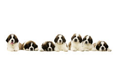 St Bernard puppies isolated on white. Seven St Bernard Puppies laid in a line isolated on a white background Stock Image