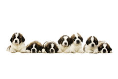 St Bernard puppies isolated on white Royalty Free Stock Photography