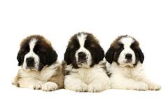 St Bernard puppies isolated on white Stock Photography