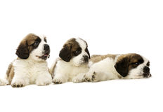 St Bernard puppies isolated on white Stock Image