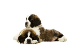 St Bernard puppies isolated on white Stock Images