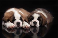 St. Bernard Puppies Royalty Free Stock Photography