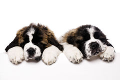 St Bernard puppies looking over a blank sign. Isolated on a white background Stock Photography