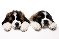 St Bernard puppies looking over a blank sign. Isolated on a white background Royalty Free Stock Photo
