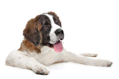 St Bernard puppy. In front of a white background Stock Images