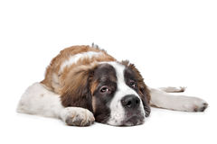 St Bernard puppy. In front of a white background Royalty Free Stock Image