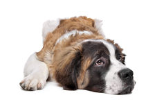 St Bernard puppy. In front of a white background Stock Photo