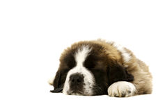 St Bernard puppy asleep isolated on white Royalty Free Stock Photos