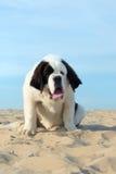 St. Bernard puppy. At the beach Royalty Free Stock Photos