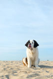 St. Bernard puppy Royalty Free Stock Photos