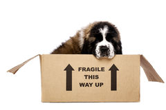 St Bernard puppy in a cardboard box. St Bernard puppy sat in a cardboard box isolated on a white background Royalty Free Stock Image