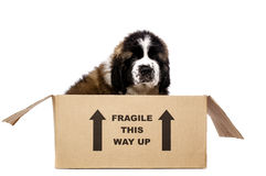 St Bernard puppy in a cardboard box. St Bernard puppy sat in a cardboard box isolated on a white background Royalty Free Stock Images
