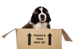 St Bernard puppy in a cardboard box. St Bernard puppy sat in a cardboard box isolated on a white background Royalty Free Stock Photo