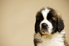 St Bernard Puppy on gold background Royalty Free Stock Images