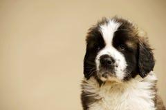 St Bernard Puppy on gold background. St Bernard puppy sat  on a gold background Royalty Free Stock Images