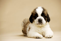 St Bernard Puppy on gold background Royalty Free Stock Photography