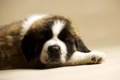 St Bernard Puppy on gold background Stock Image